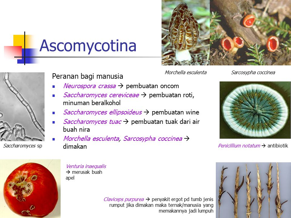Ascomycotina Peranan bagi manusia Neurospora crassa  pembuatan oncom