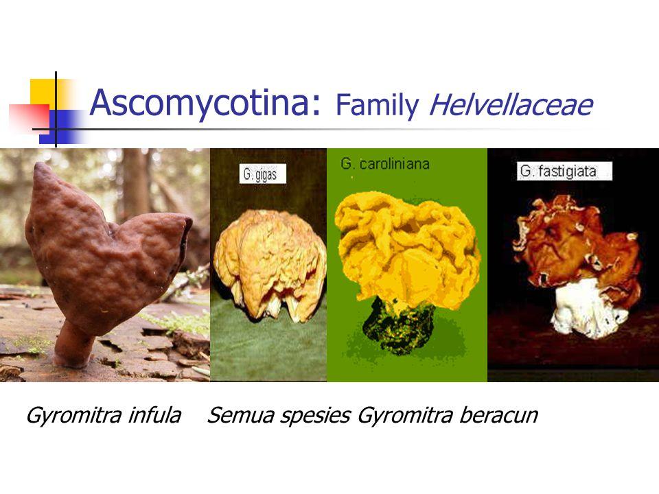 Ascomycotina: Family Helvellaceae