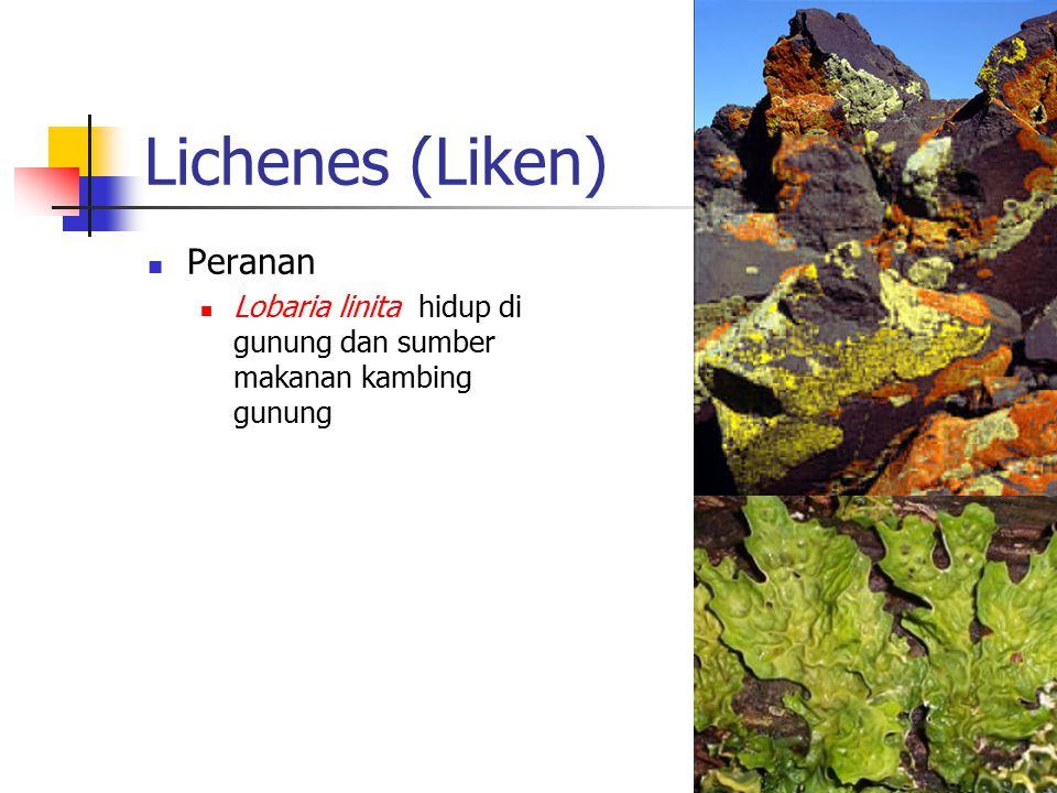 Lichenes (Liken) Peranan