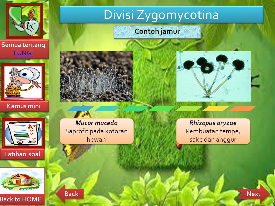 Divisi Zygomycotina Mucor mucedo Saprofit pada kotoran hewan