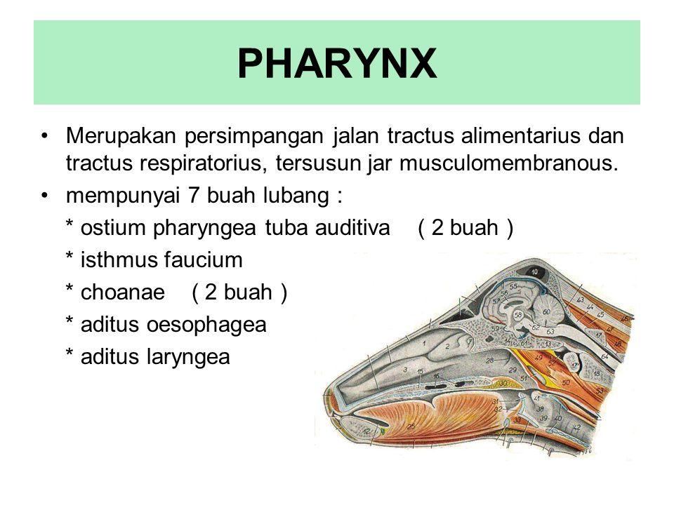 PHARYNX Merupakan persimpangan jalan tractus alimentarius dan tractus respiratorius, tersusun jar musculomembranous.
