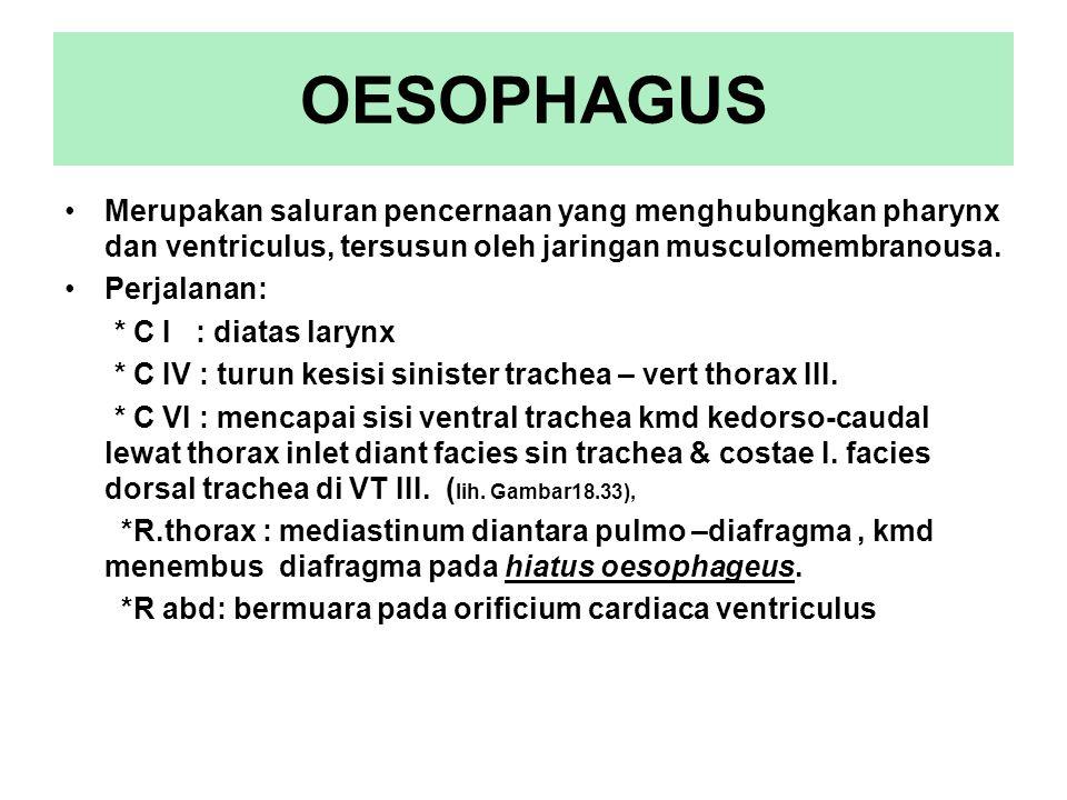 OESOPHAGUS Merupakan saluran pencernaan yang menghubungkan pharynx dan ventriculus, tersusun oleh jaringan musculomembranousa.