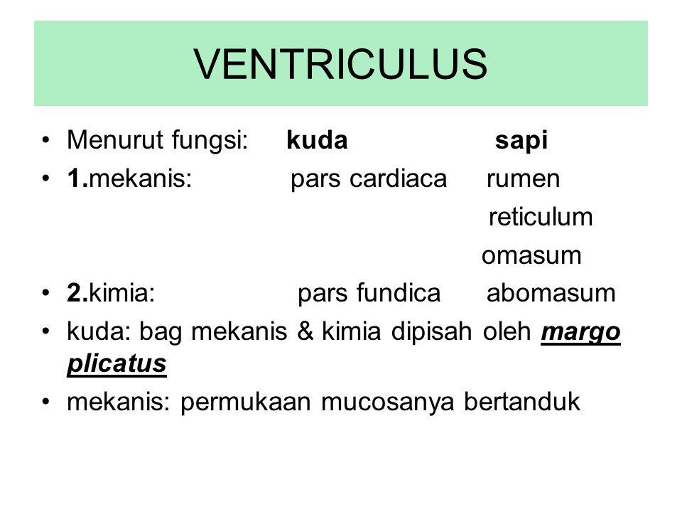 VENTRICULUS Menurut fungsi: kuda sapi 1.mekanis: pars cardiaca rumen