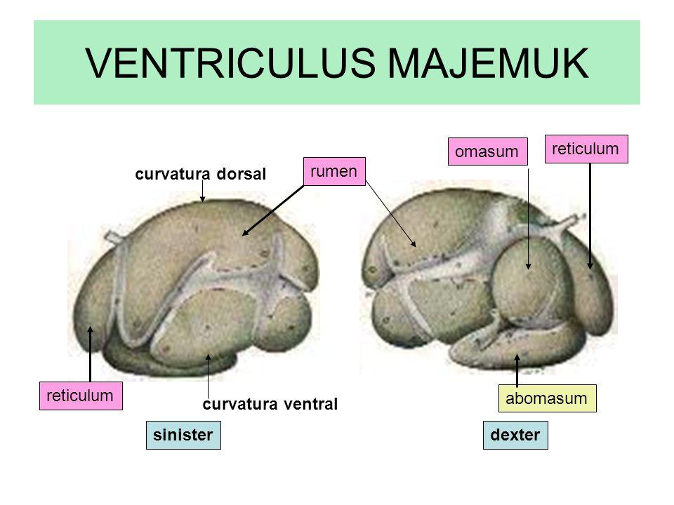 VENTRICULUS MAJEMUK omasum reticulum curvatura dorsal rumen reticulum