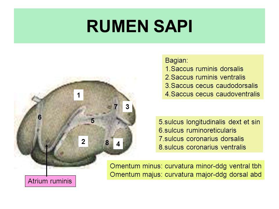 RUMEN SAPI Bagian: 1.Saccus ruminis dorsalis