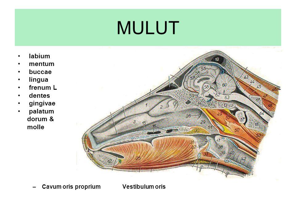 MULUT labium mentum buccae lingua frenum L dentes gingivae palatum