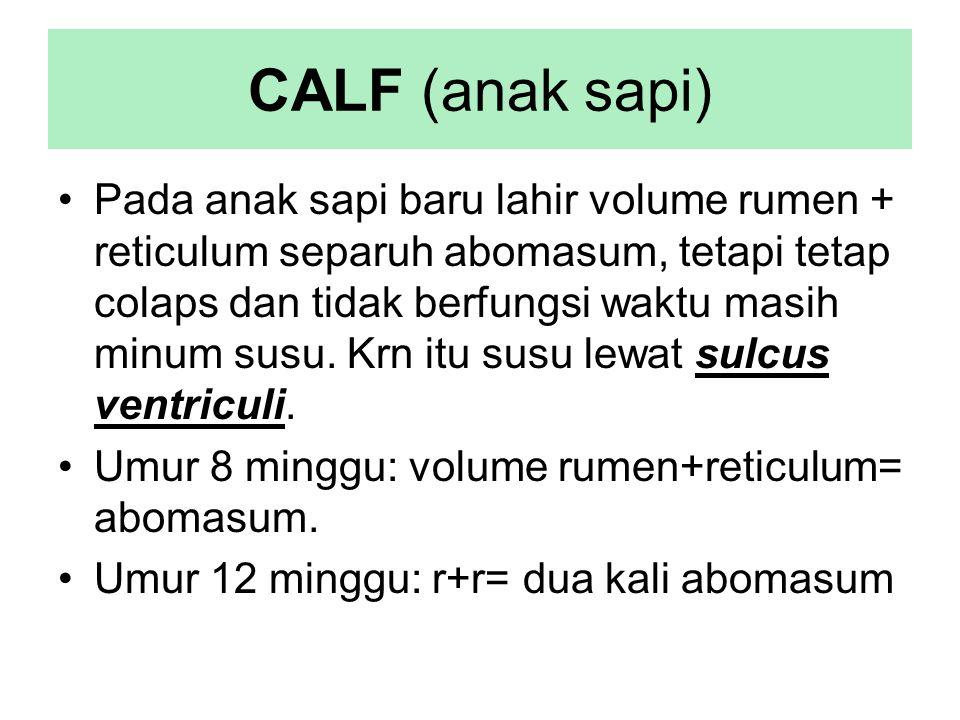 CALF (anak sapi)
