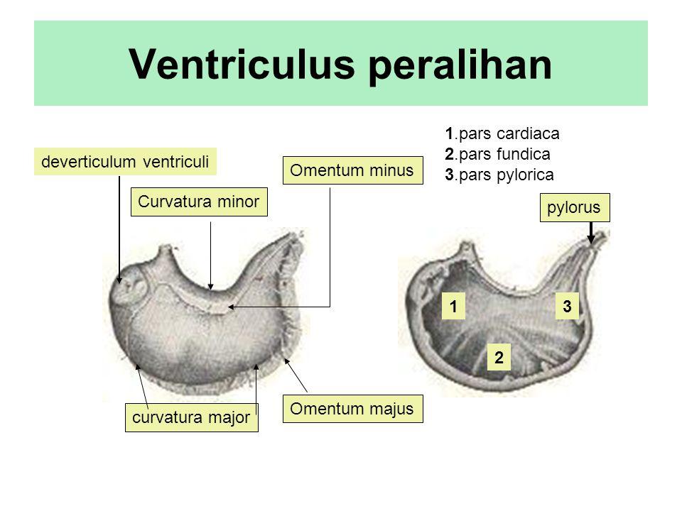 Ventriculus peralihan