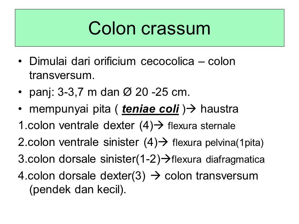 Colon crassum Dimulai dari orificium cecocolica – colon transversum.