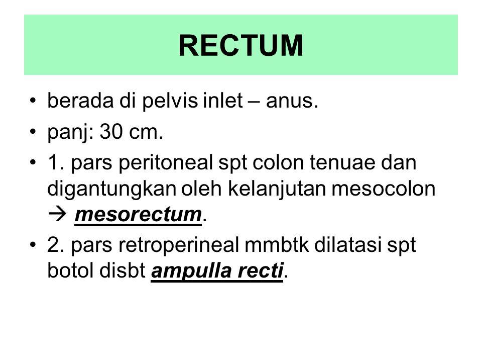 RECTUM berada di pelvis inlet – anus. panj: 30 cm.