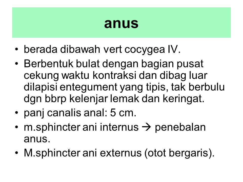 anus berada dibawah vert cocygea IV.