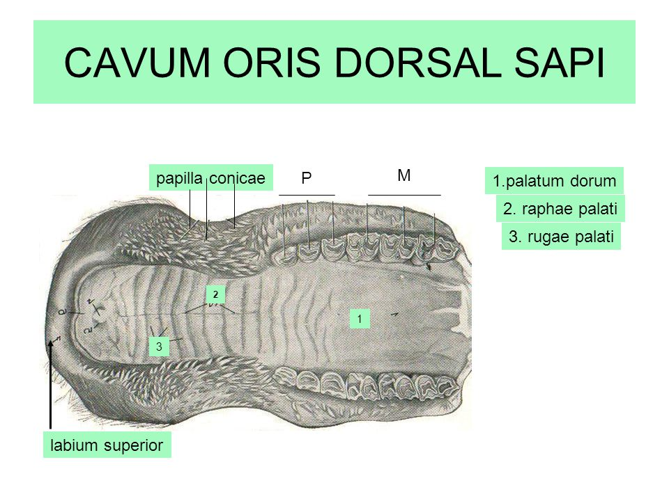 CAVUM ORIS DORSAL SAPI papilla conicae P M 1.palatum dorum