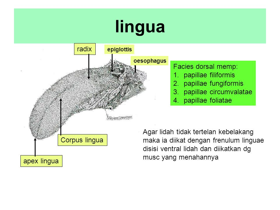 lingua radix Facies dorsal memp: papillae filiformis