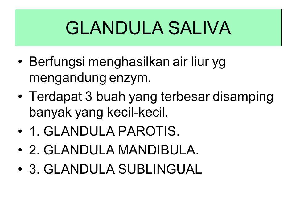 GLANDULA SALIVA Berfungsi menghasilkan air liur yg mengandung enzym.