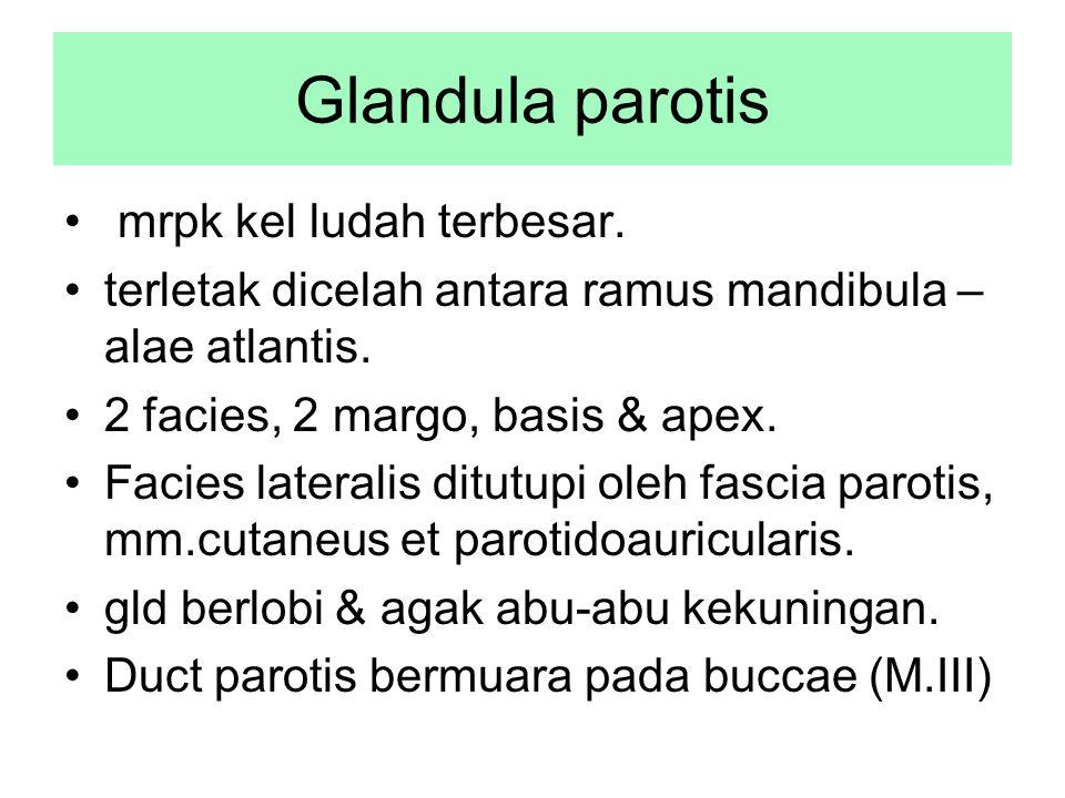 Glandula parotis mrpk kel ludah terbesar.