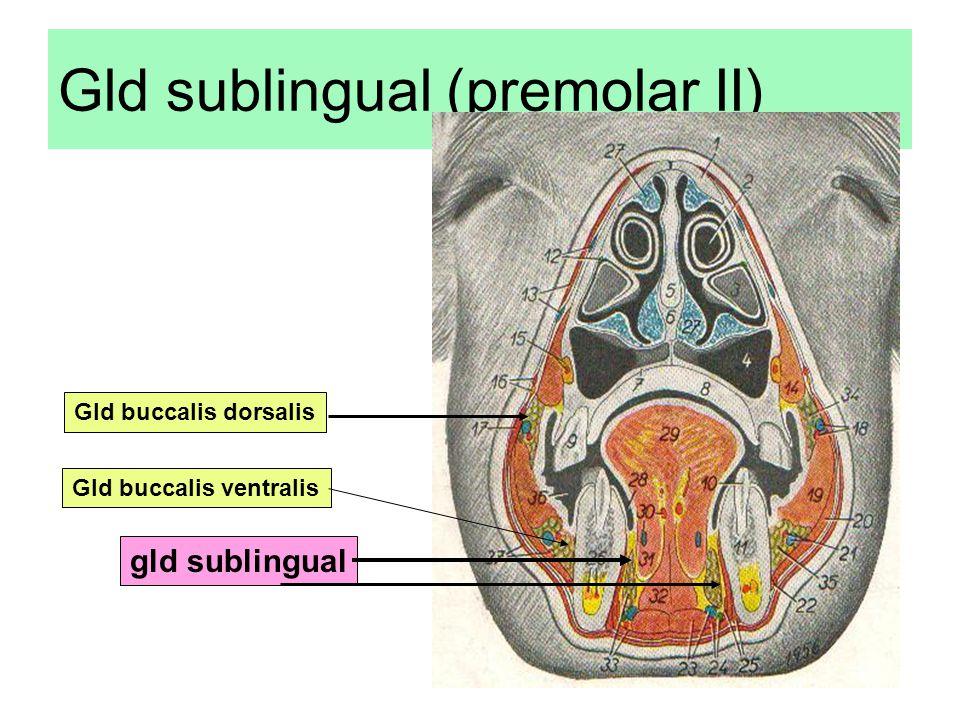 Gld sublingual (premolar II)