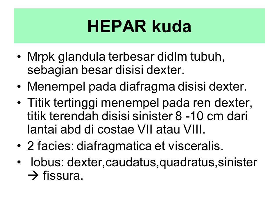 HEPAR kuda Mrpk glandula terbesar didlm tubuh, sebagian besar disisi dexter. Menempel pada diafragma disisi dexter.