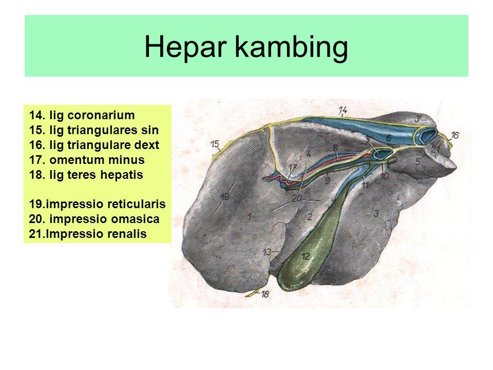 Hepar kambing 14. lig coronarium 15. lig triangulares sin