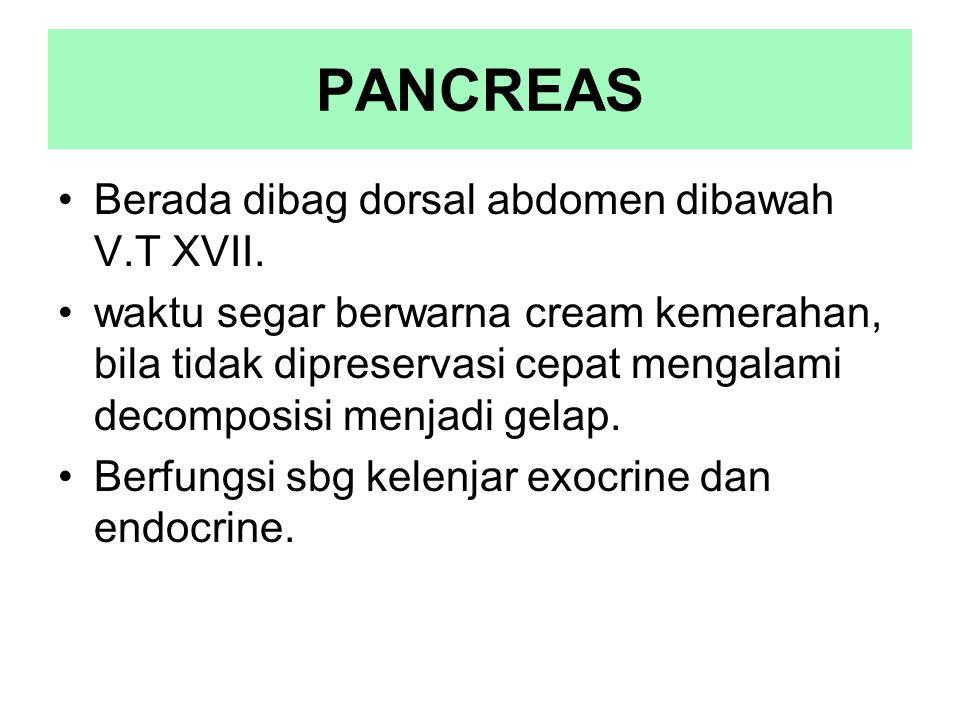 PANCREAS Berada dibag dorsal abdomen dibawah V.T XVII.