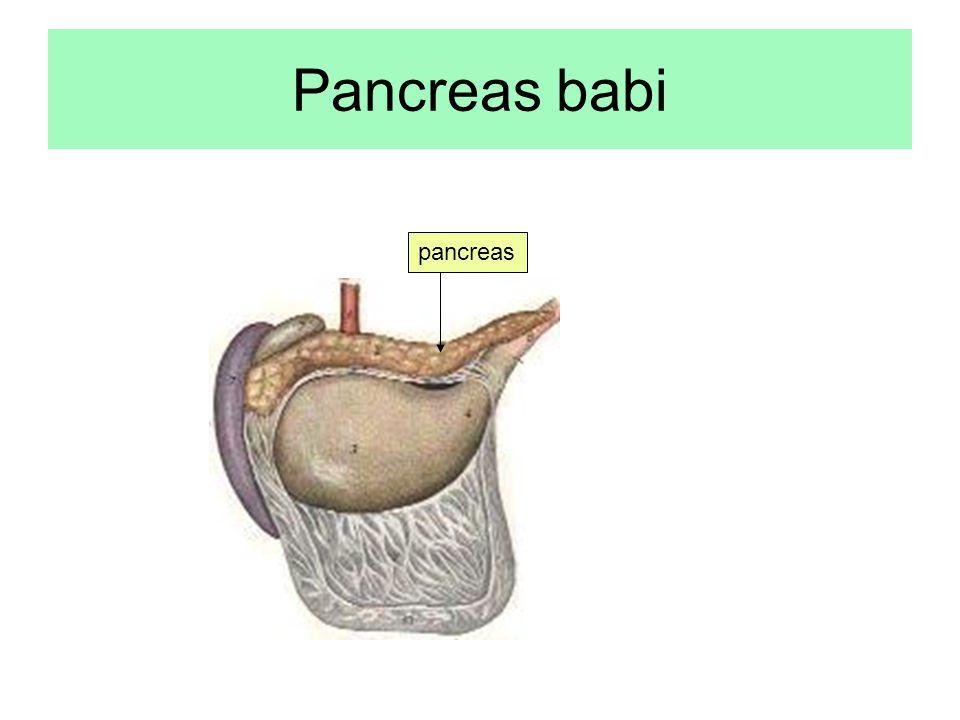 Pancreas babi pancreas
