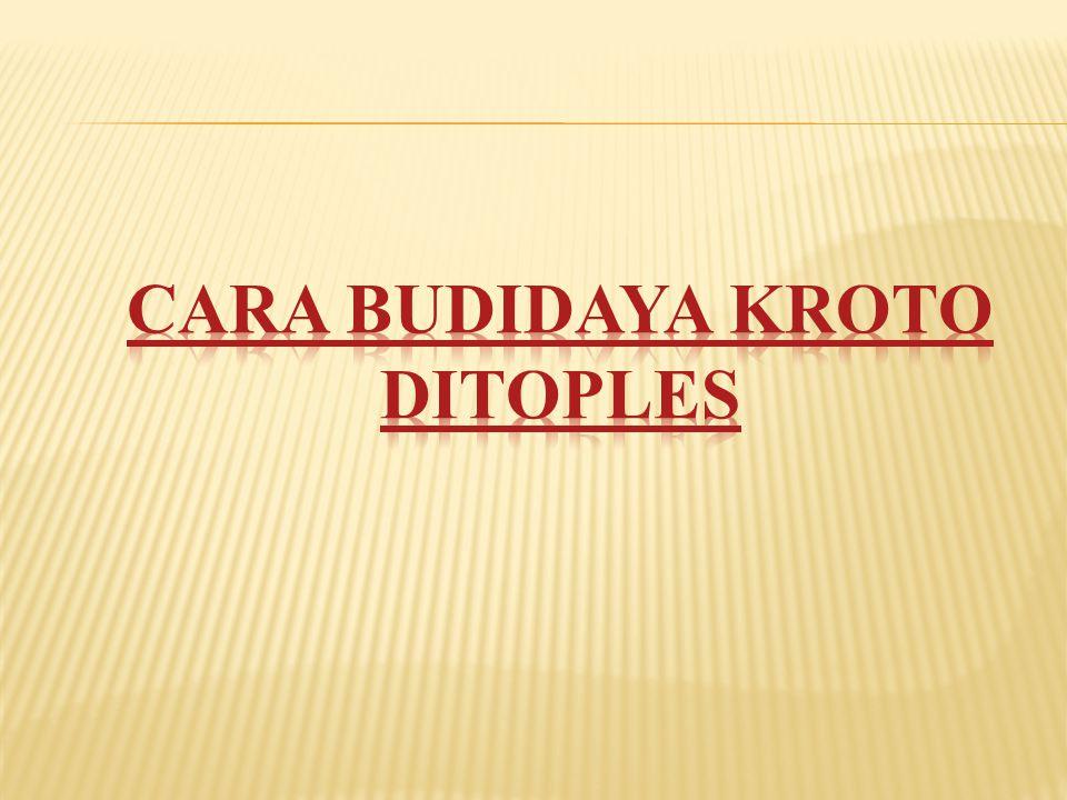 CARA BUDIDAYA KROTO DITOPLES
