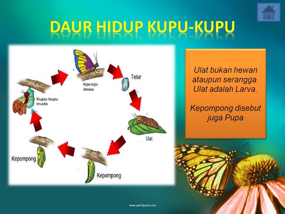 Daur Hidup Kupu-Kupu Ulat bukan hewan ataupun serangga.