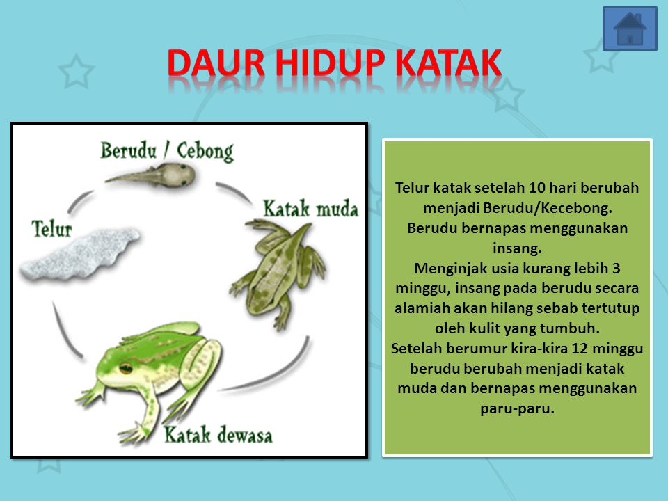 Daur Hidup Katak Telur katak setelah 10 hari berubah menjadi Berudu/Kecebong. Berudu bernapas menggunakan insang.