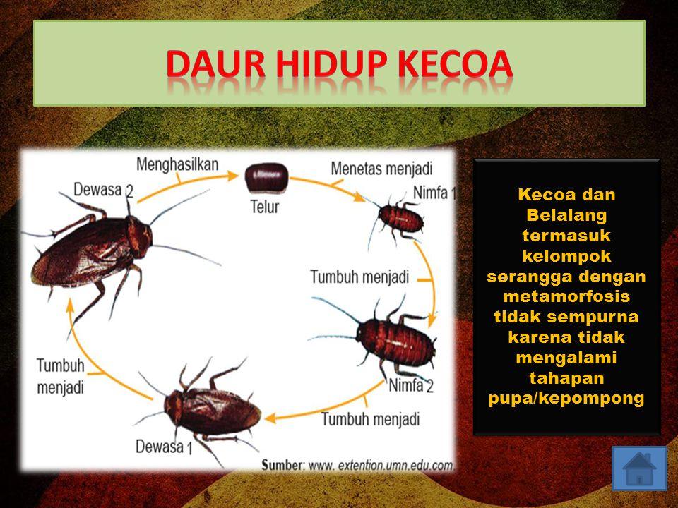 Daur Hidup Kecoa Kecoa dan Belalang termasuk kelompok serangga dengan metamorfosis tidak sempurna karena tidak mengalami tahapan pupa/kepompong.