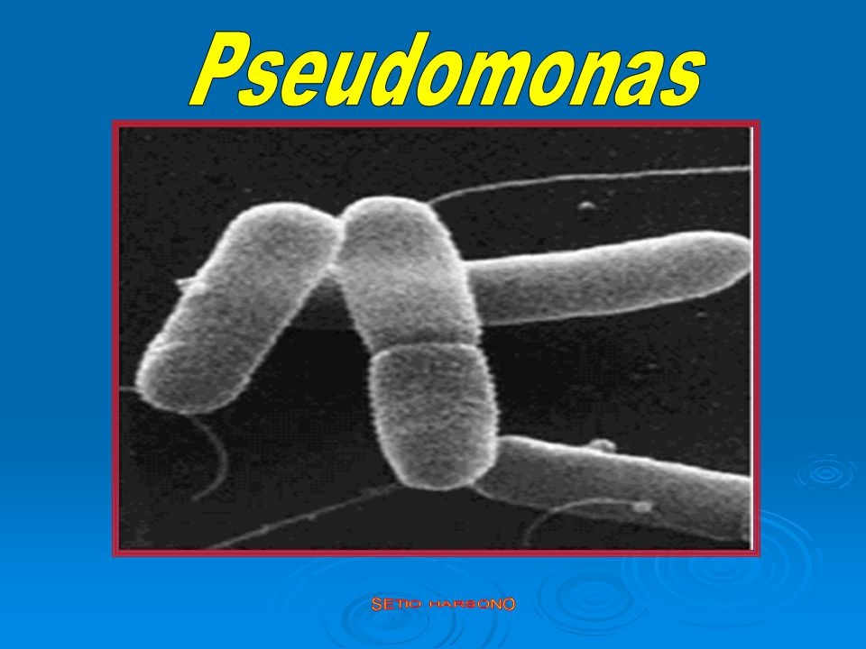 Pseudomonas SETIO HARSONO