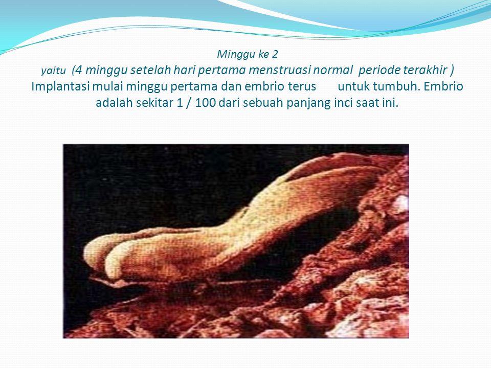 Minggu ke 2 yaitu (4 minggu setelah hari pertama menstruasi normal periode terakhir ) Implantasi mulai minggu pertama dan embrio terus untuk tumbuh.