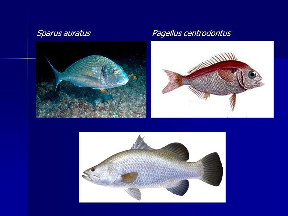 Sparus auratus Pagellus centrodontus