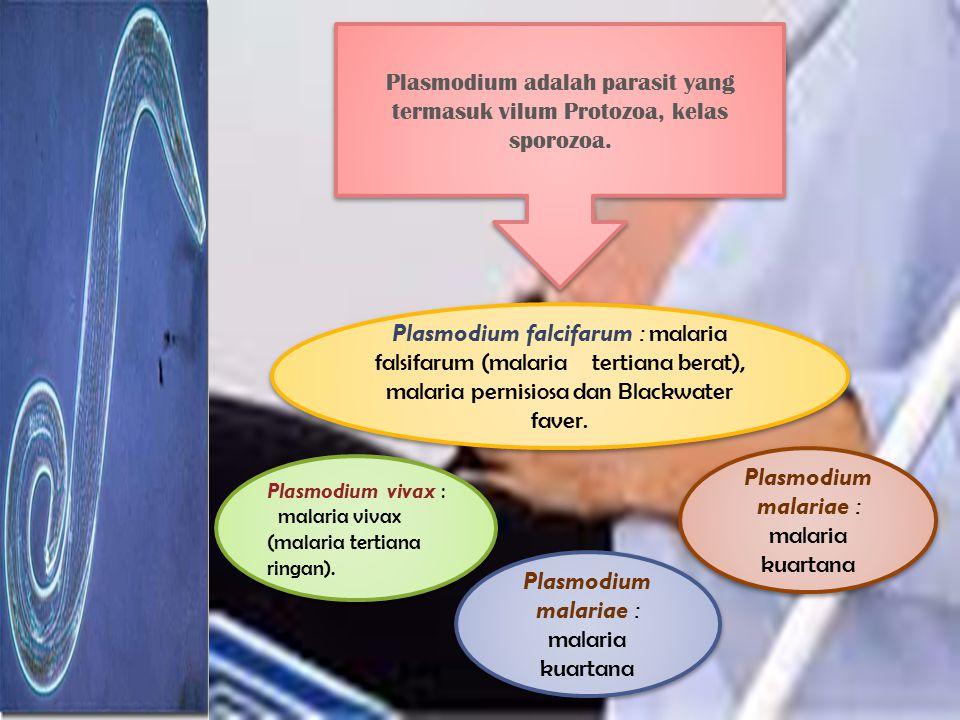 Plasmodium malariae : malaria kuartana