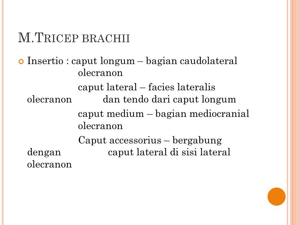 M.Tricep brachii Insertio : caput longum – bagian caudolateral olecranon.