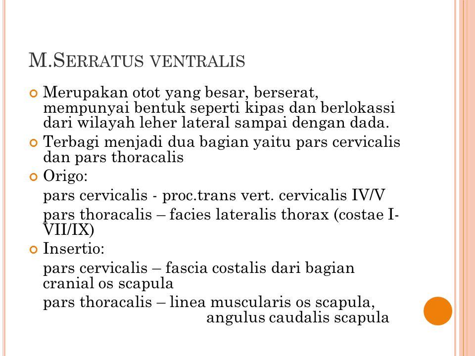 M.Serratus ventralis