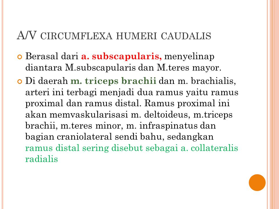 A/V circumflexa humeri caudalis