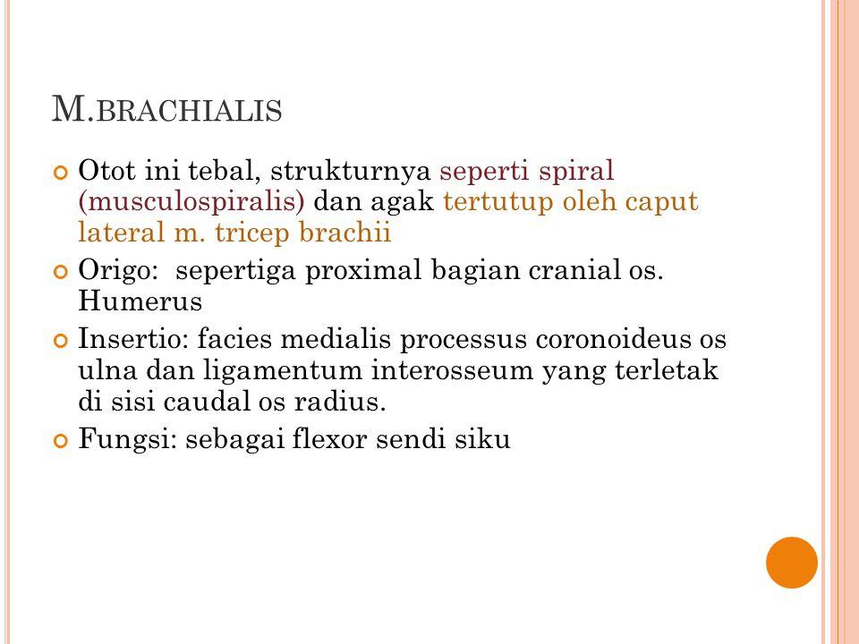 M.brachialis Otot ini tebal, strukturnya seperti spiral (musculospiralis) dan agak tertutup oleh caput lateral m. tricep brachii.