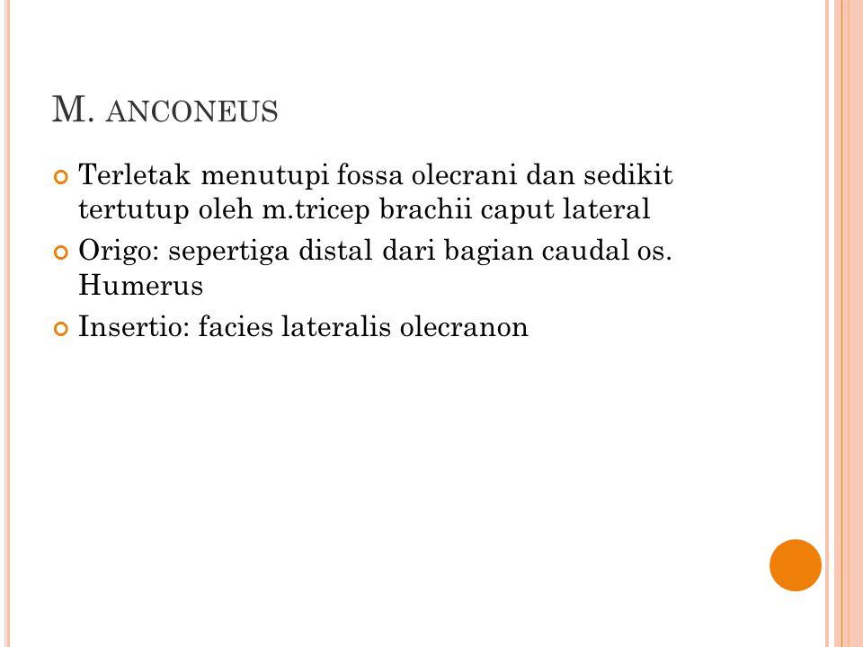 M. anconeus Terletak menutupi fossa olecrani dan sedikit tertutup oleh m.tricep brachii caput lateral.