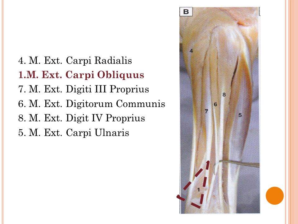 4. M. Ext. Carpi Radialis 1. M. Ext. Carpi Obliquus 7. M. Ext