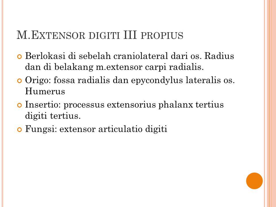 M.Extensor digiti III propius