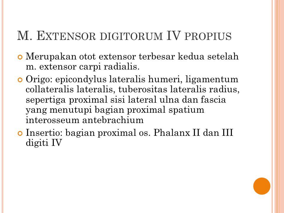 M. Extensor digitorum IV propius