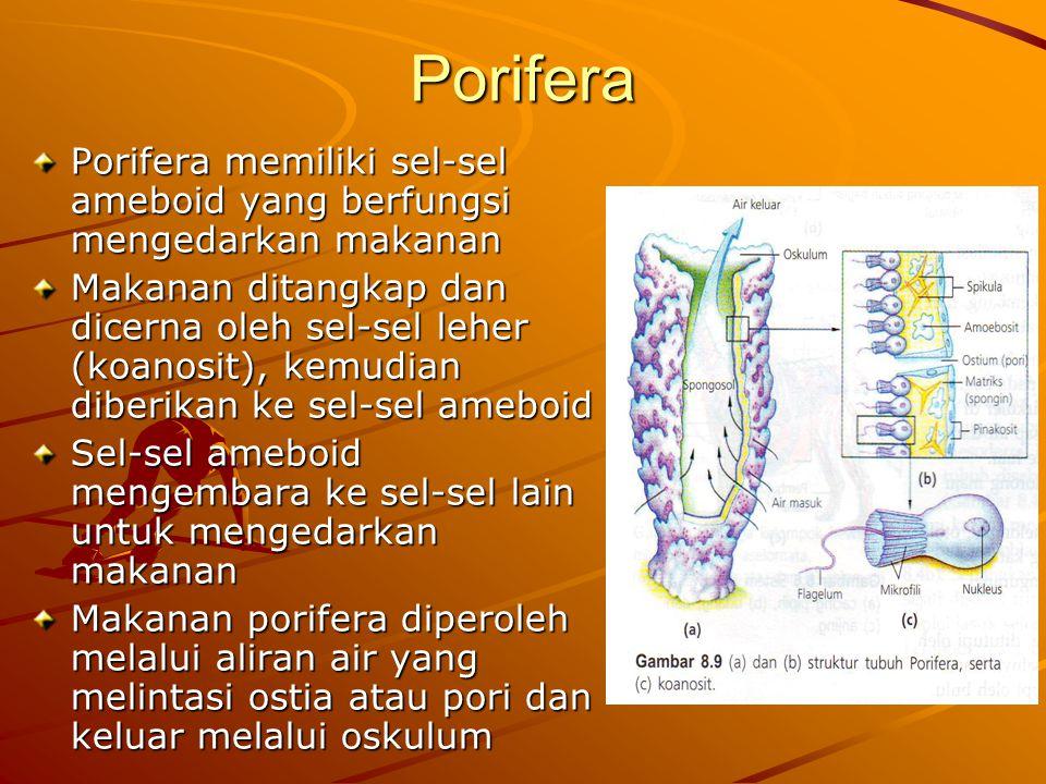 Porifera Porifera memiliki sel-sel ameboid yang berfungsi mengedarkan makanan.
