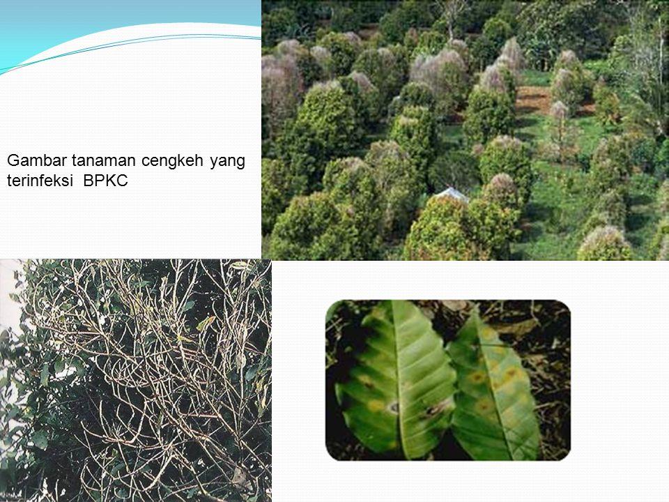 Gambar tanaman cengkeh yang