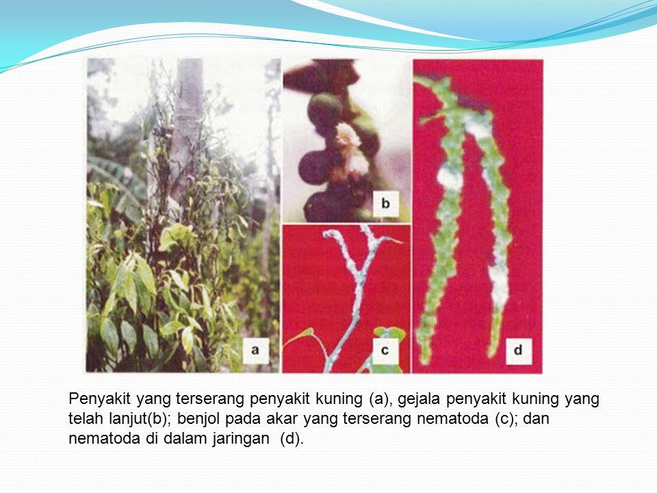 Penyakit yang terserang penyakit kuning (a), gejala penyakit kuning yang telah lanjut(b); benjol pada akar yang terserang nematoda (c); dan nematoda di dalam jaringan (d).