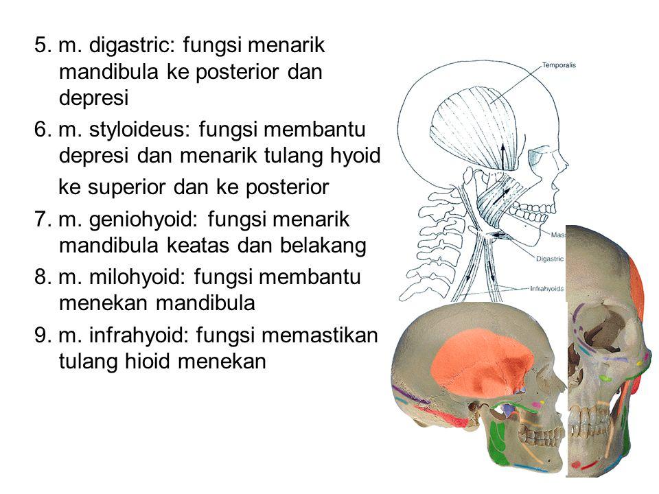 5. m. digastric: fungsi menarik mandibula ke posterior dan depresi