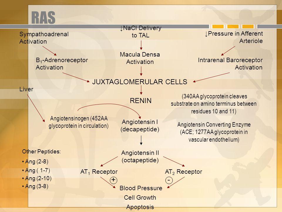 RAS + - JUXTAGLOMERULAR CELLS RENIN Sympathoadrenal Activation