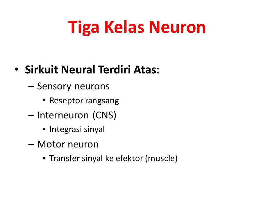 Tiga Kelas Neuron Sirkuit Neural Terdiri Atas: Sensory neurons