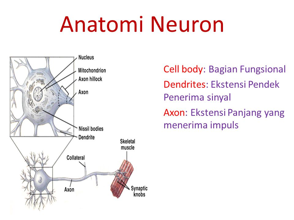 Anatomi Neuron Cell body: Bagian Fungsional