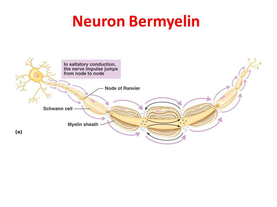 Neuron Bermyelin