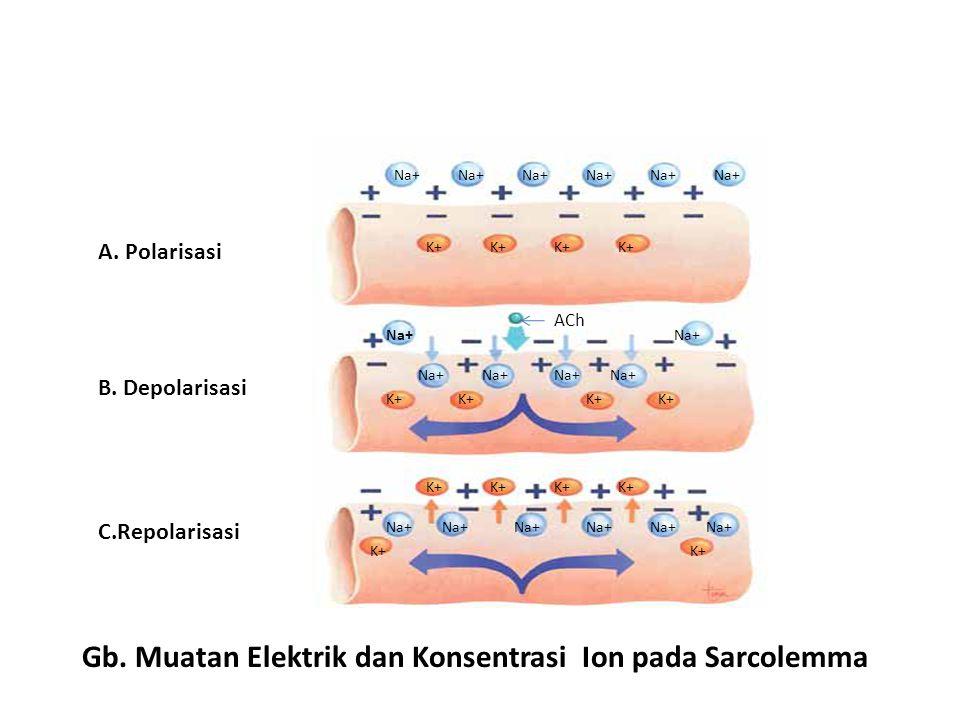 Gb. Muatan Elektrik dan Konsentrasi Ion pada Sarcolemma