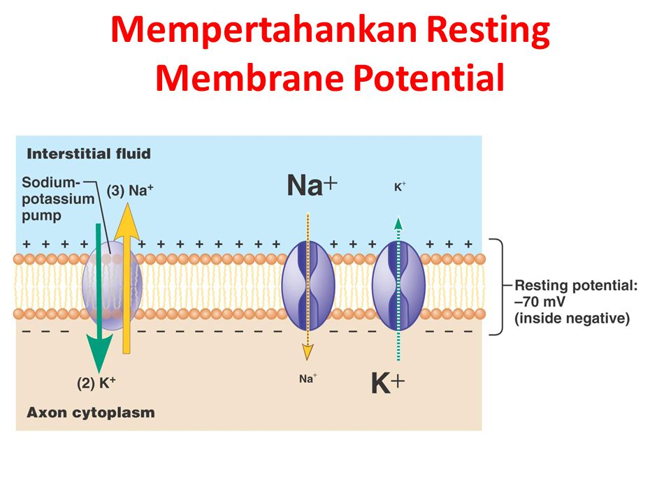 Mempertahankan Resting Membrane Potential